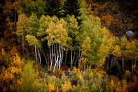 Quaking Aspens near Minturn